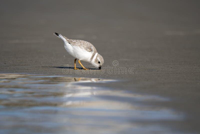 Piping Plover shorebird på stranden över Atlanten på Hilton Head Island, South Carolina, Förenta staterna arkivfoton