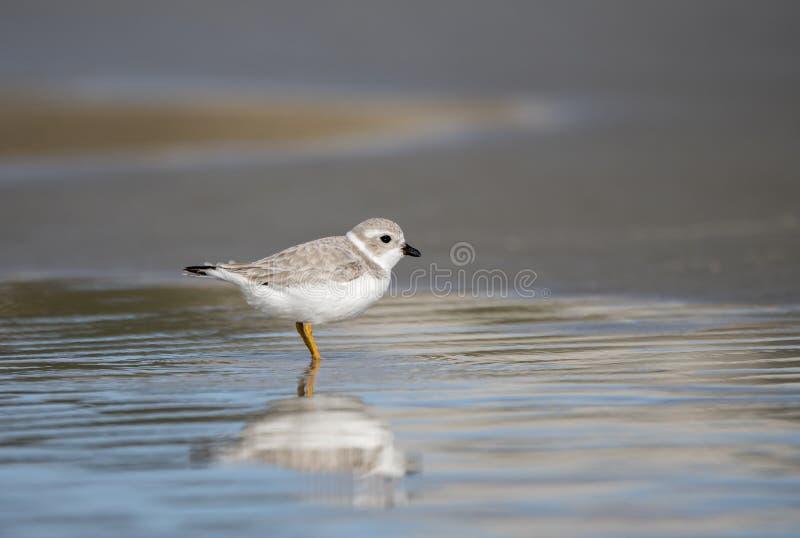 Piping Plover shorebird på stranden över Atlanten på Hilton Head Island, South Carolina, Förenta staterna arkivfoto
