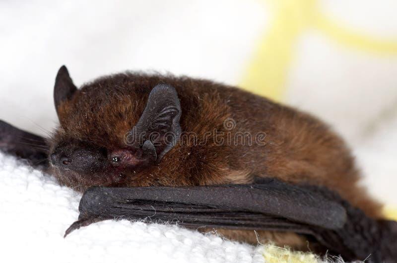 Pipistrelle commun - pipistrellus de Pipistrellus photographie stock libre de droits