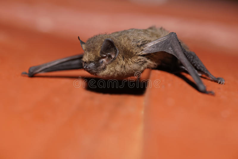 Pipistrelle nietoperz zdjęcia stock