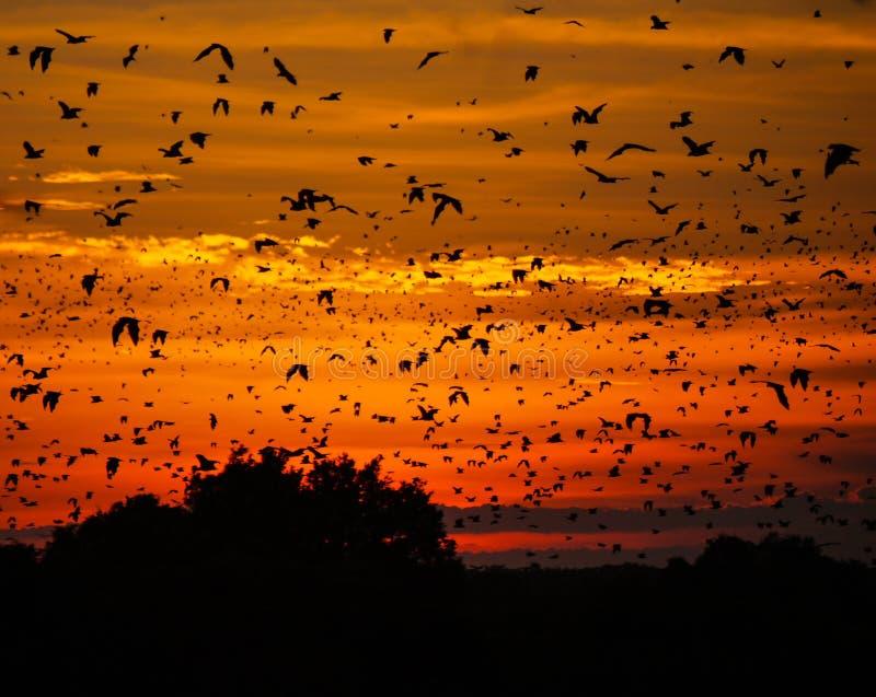 Pipistrelli al tramonto fotografia stock