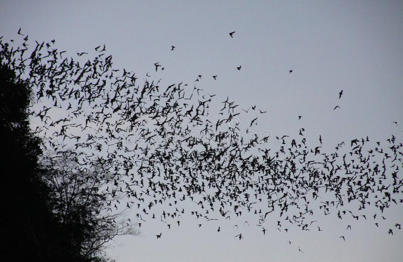 Pipistrelli innumerevoli che sciamano fuori nel cielo uguagliante di crepuscolo immagini stock