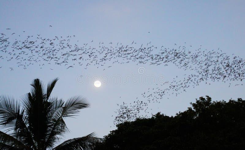 Pipistrelli innumerevoli che sciamano fuori nel crepuscolo uguagliante con la luna piena e la siluetta della palma fotografia stock