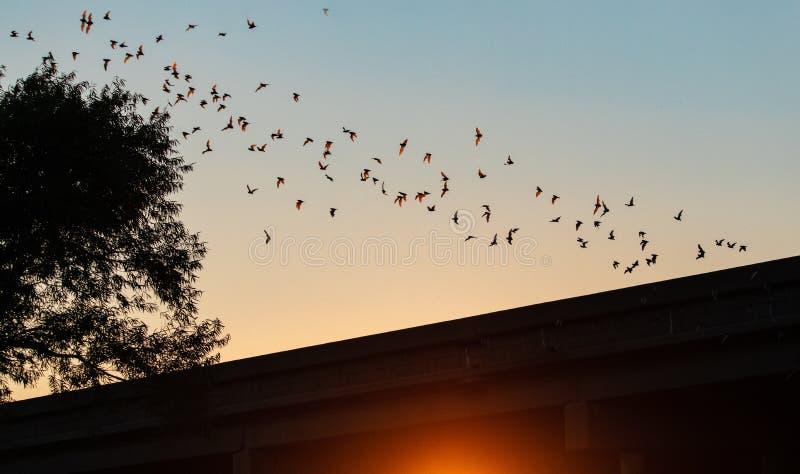 Pipistrelli liberi della coda del messicano che decollano al crepuscolo dall'area Davis CA della fauna selvatica di esclusione di fotografie stock libere da diritti