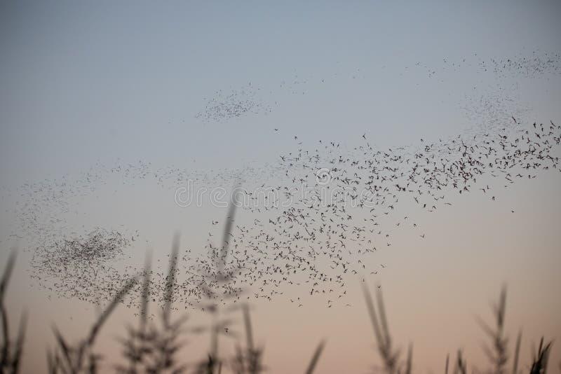 Pipistrelli liberi della coda del messicano in una formazione di Z al crepuscolo all'area Davis CA della fauna selvatica di esclu fotografia stock