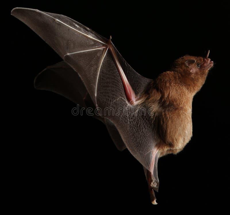 Pipistrello ancora fotografie stock