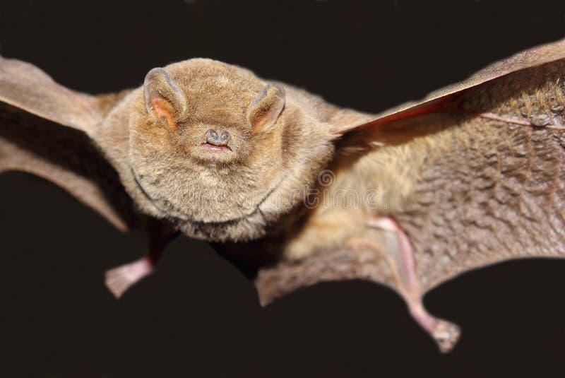 Pipistrello dalle dita lungo immagine stock