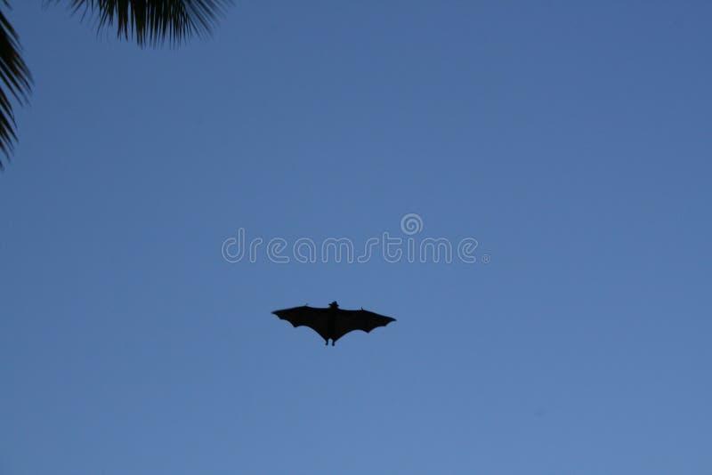 Pipistrello della frutta immagine stock