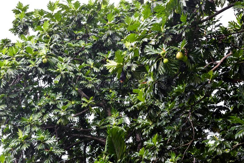 Pipistrello della frutta che appende in mezzo all'albero tropicale dopo la pioggia tropicale nell'isola delle Seychelles fotografia stock