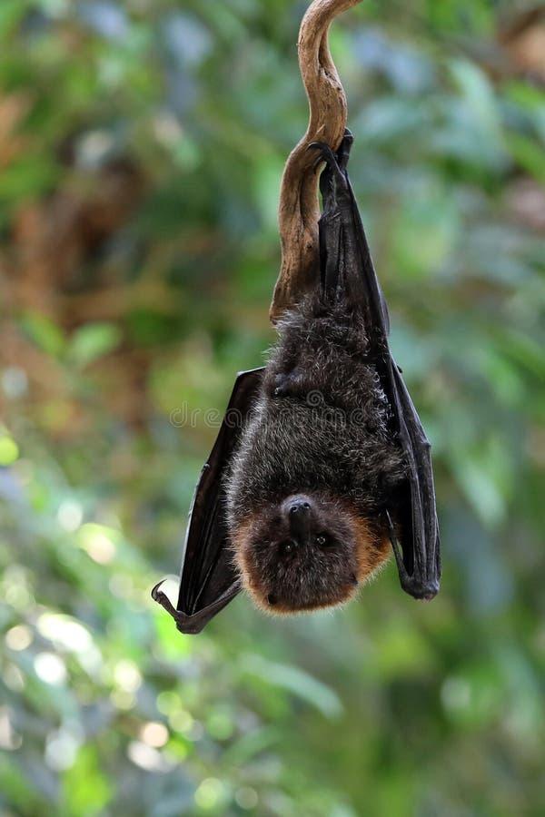 Pipistrello della frutta che appende in un albero fotografia stock