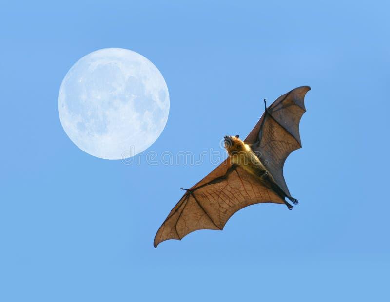 Pipistrello della volpe di volo fotografia stock - Contorno immagine di pipistrello ...