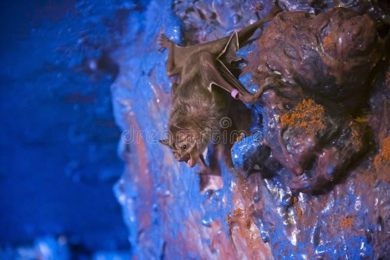 Pipistrello di vampiro immagini stock libere da diritti