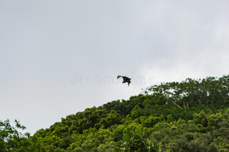Pipistrello di volo in Seychelles, isola di Mahe immagini stock