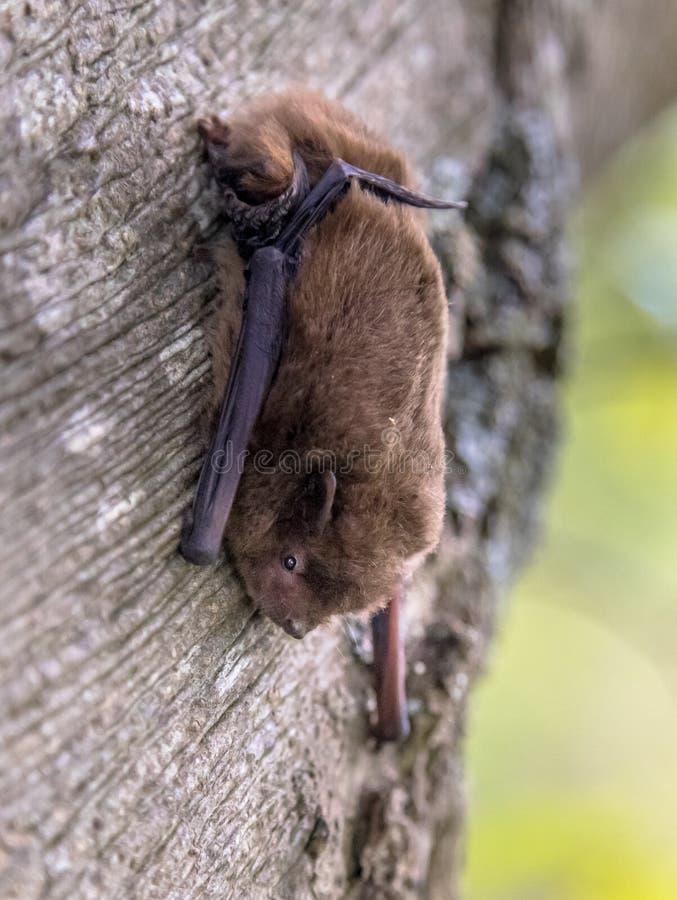 Pipistrello nano di Nathusius sull'albero fotografia stock libera da diritti