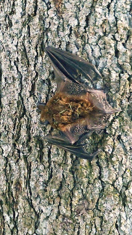 Pipistrello sull'albero immagini stock