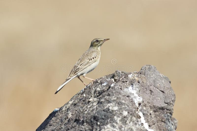 Pipit royalty free stock image
