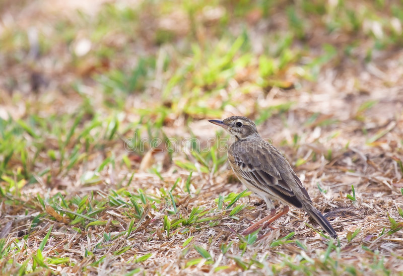 Download Pipit on ground stock image. Image of outdoor, garden - 8537957