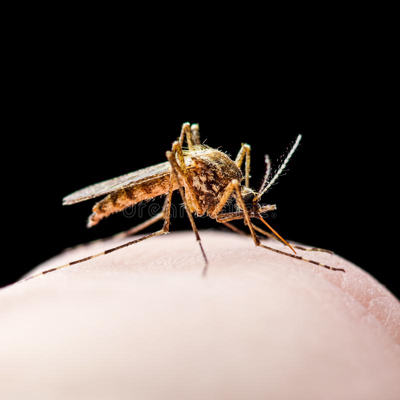 Piq?re d'insectes infect?e par virus de fi?vre jaune, de malaria ou de moustique de Zika d'isolement sur le noir images stock
