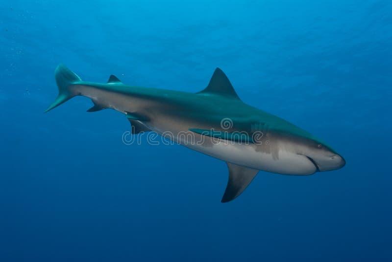 Piqué de requin image stock