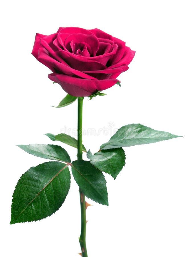 Pique color de rosa imágenes de archivo libres de regalías