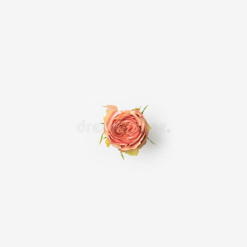Pique el brote de Rose imagenes de archivo