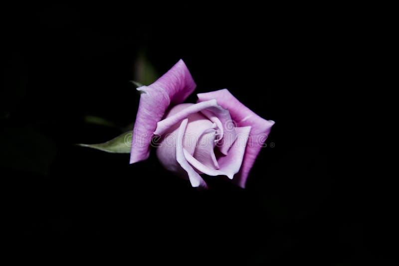 Pique el brote de Rose foto de archivo