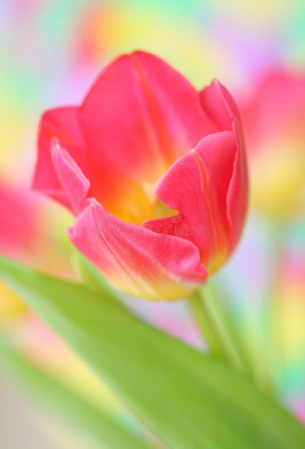 Pique el tulipán foto de archivo libre de regalías