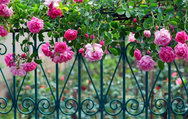 Pique a escalada levantou-se na cerca forjada no jardim fotografia de stock royalty free