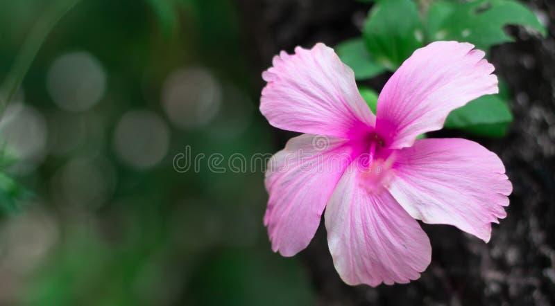 Pique a flor do hibiscus Crescimento vegetal havaiano do hibiscus fotografia de stock royalty free