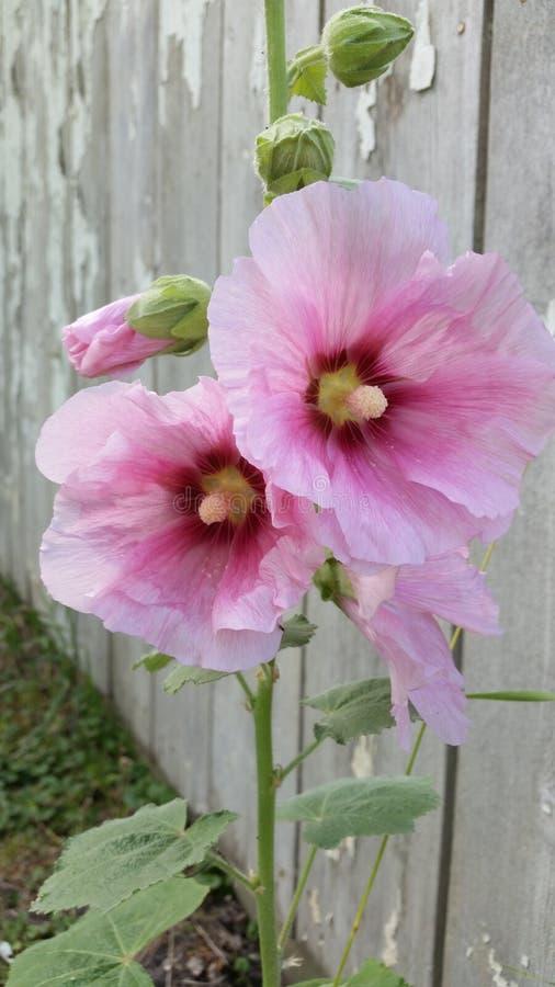 Pique flores dos hollyhocks imagens de stock