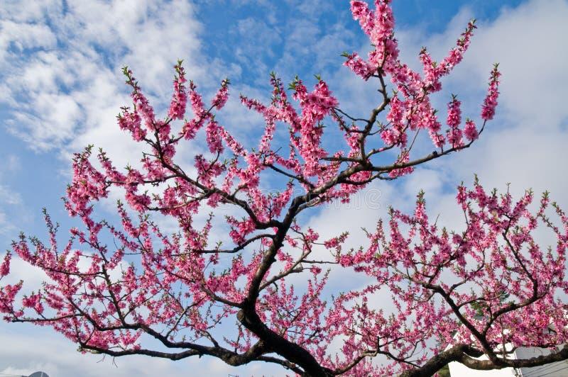 Pique las flores de la flor de cerezo de Sakura en Hakone, Japón imagenes de archivo