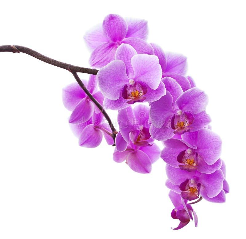 Pique las flores de la orquídea aisladas en blanco imagen de archivo libre de regalías