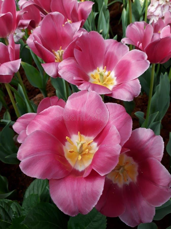 Pique los tulipanes Los tulipanes están floreciendo imagen de archivo libre de regalías