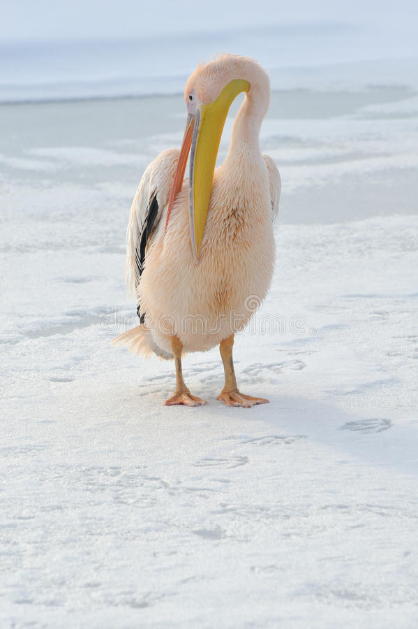 Pique o pelicano imagens de stock