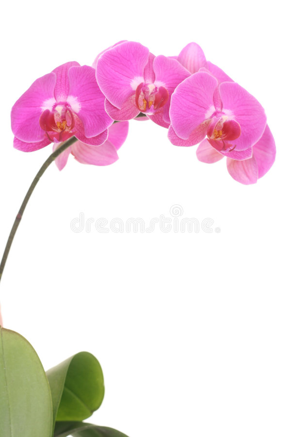 Pique a orquídea imagens de stock