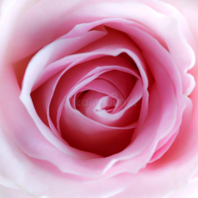 Pique Rosa imagens de stock
