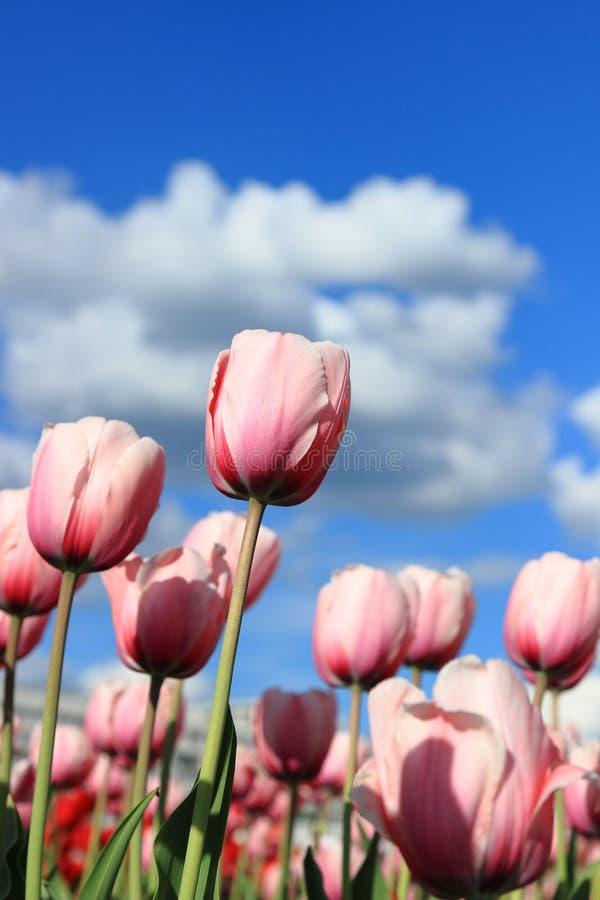 Pique tulips imagens de stock