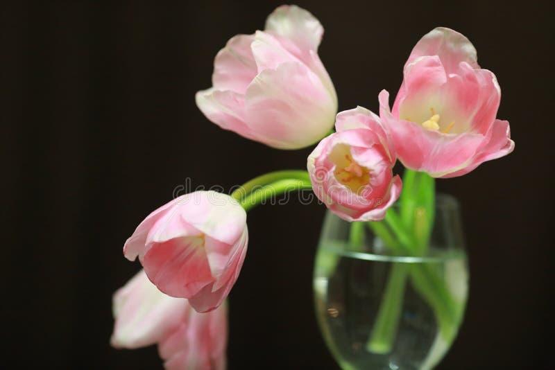Pique tulips foto de stock royalty free