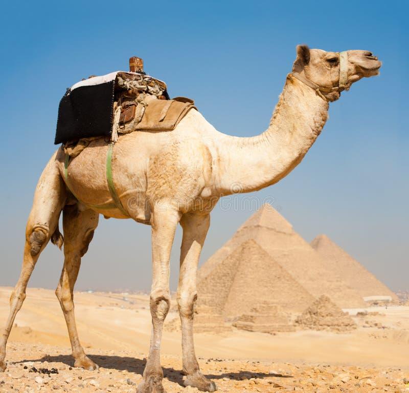 Pirámides Giza todo del camello junto imagen de archivo
