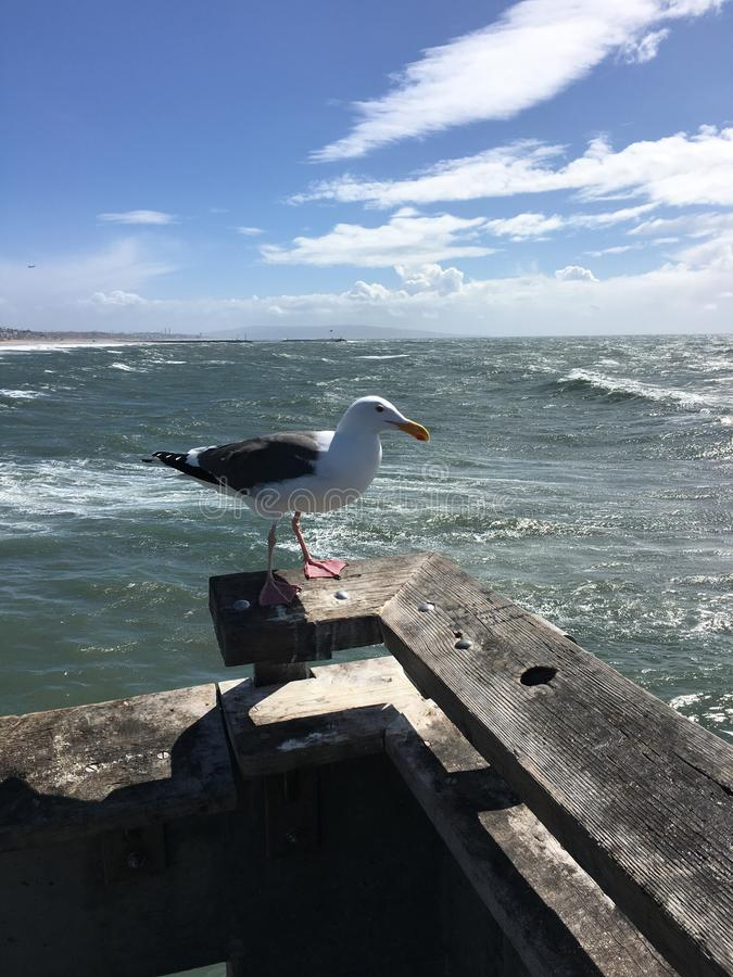 Pir för SeagullVenedig strand royaltyfria foton