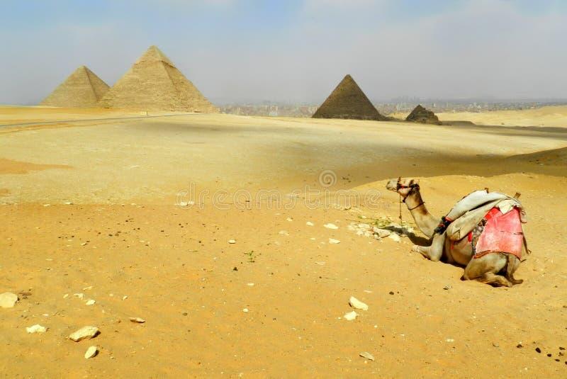 Piramidi Egitto Giza interamente, vista di panorama, con il cammello immagini stock