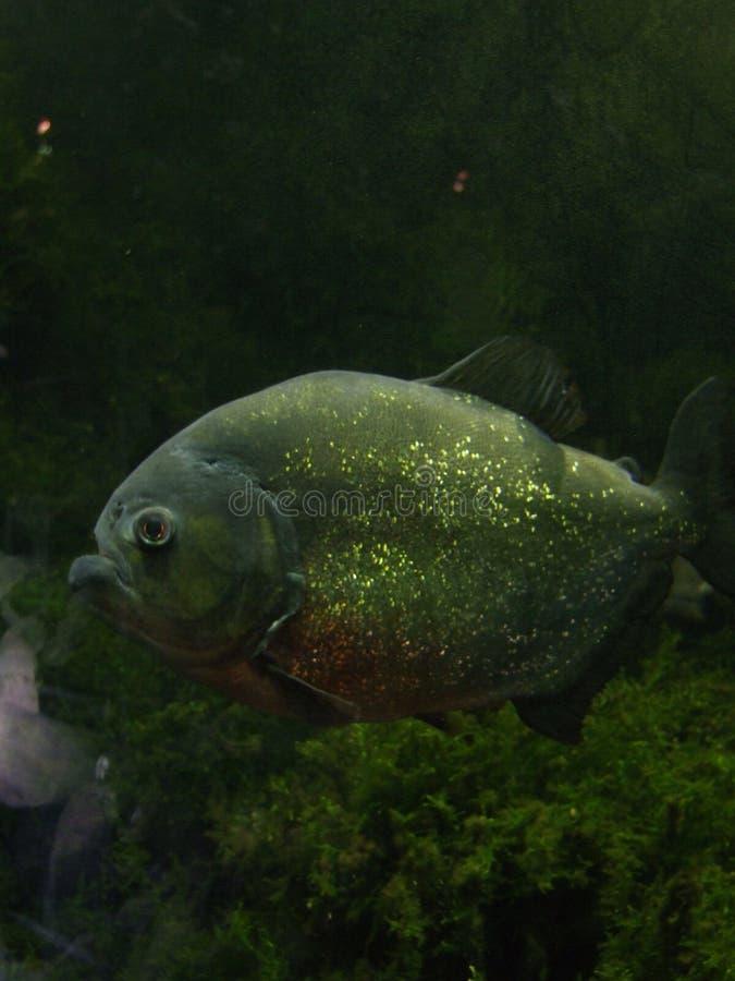 piranha στοκ φωτογραφία με δικαίωμα ελεύθερης χρήσης
