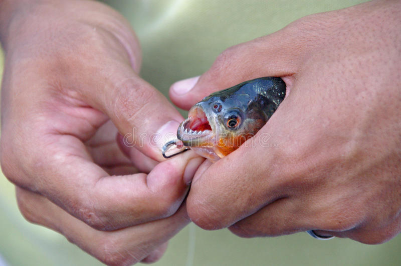 Piranha. A Piranha showing teeth; caught in the Amazon River stock photography