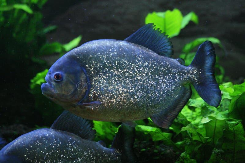 Piranha. Nice big piranha fish in natural environment royalty free stock photos