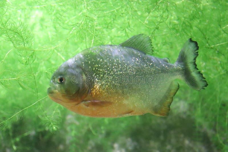 Piranha. Pygocentrus nattereri Fish piranha aquarium sea green  wild orange belly royalty free stock image