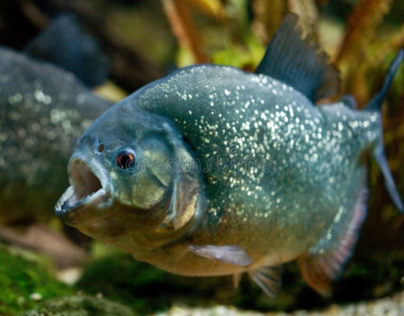 Piranha. South american fish piranha in attack royalty free stock photos