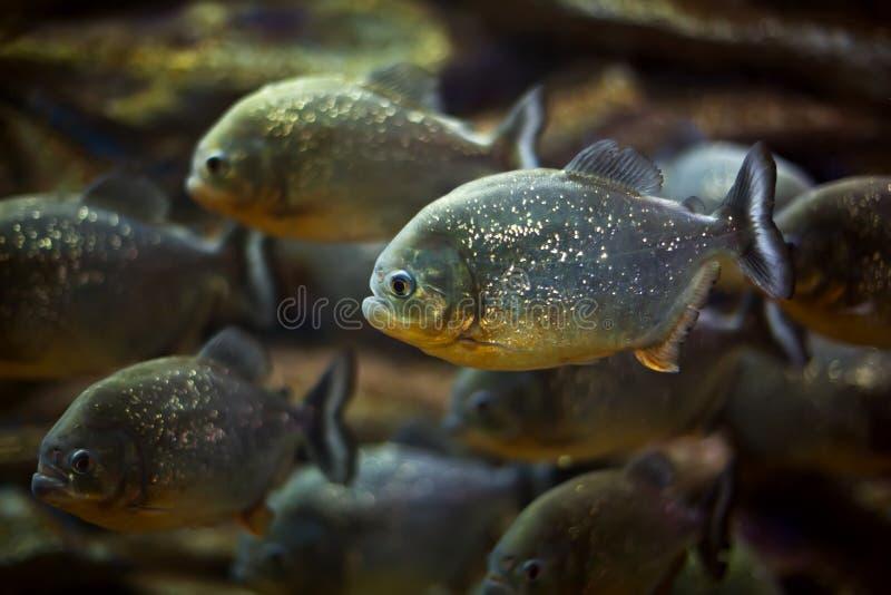 Piranha. Fish in natural environment stock image
