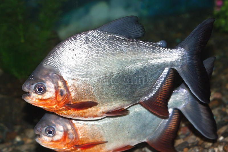 Download Piranha Royalty Free Stock Photography - Image: 19746257