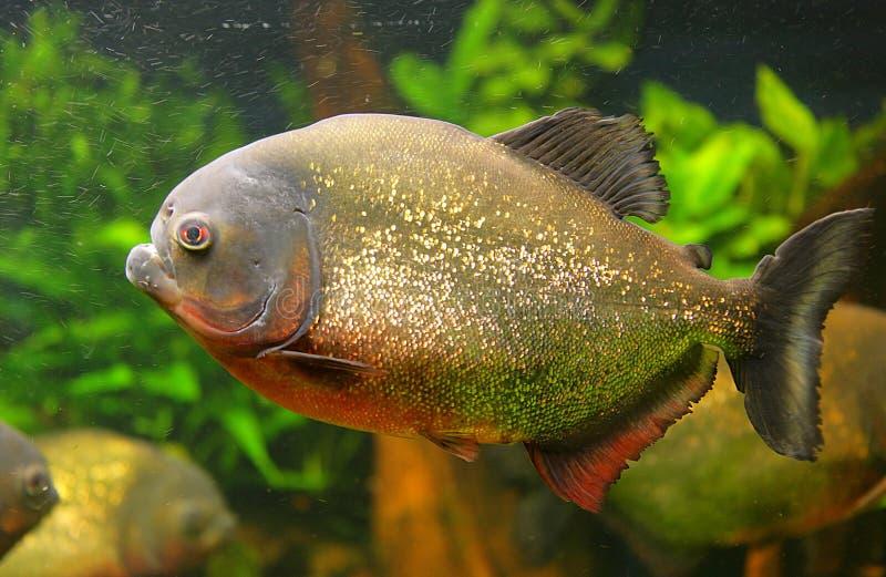Piranha 2 stock afbeelding