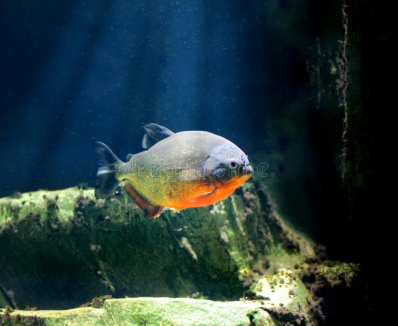 Piranha. A piranha fish in clear water royalty free stock photography
